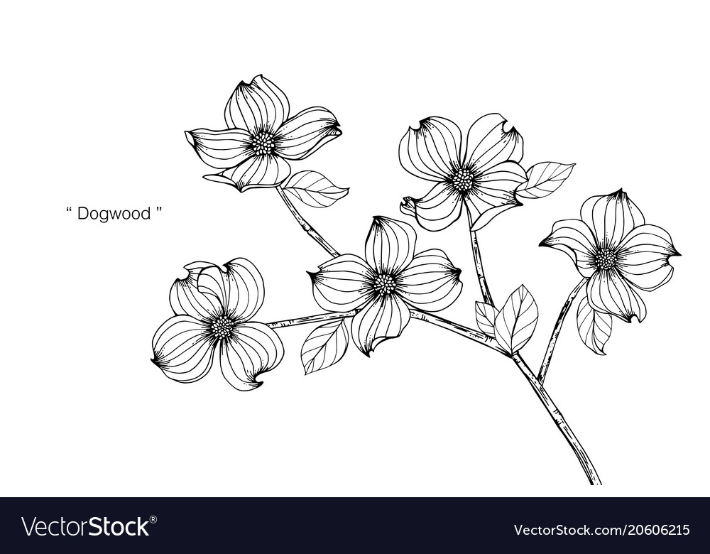 Dogwood Flower Drawing Royalty Free Vector Image