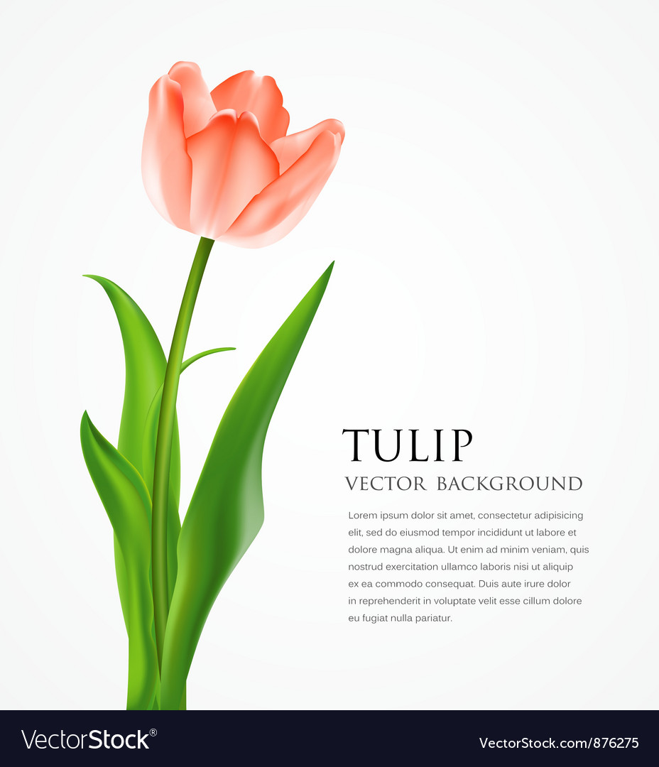 Beautiful tulips vector image
