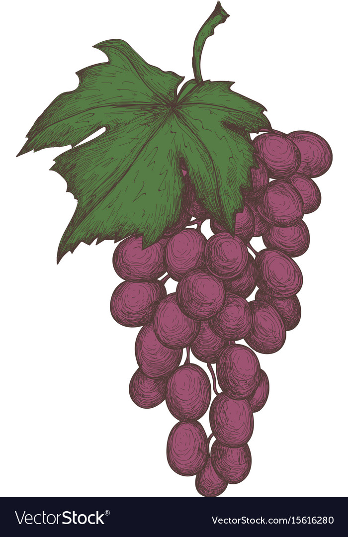 Grapes bunch hand drawn isolated icon
