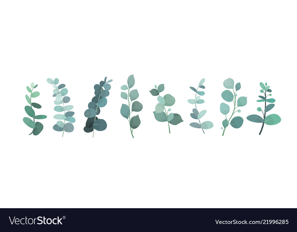 Eucalyptus silver greenery