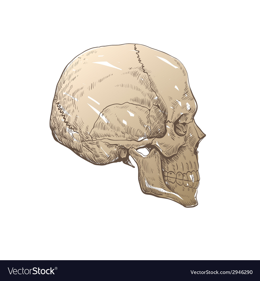 Skull drawing isolated