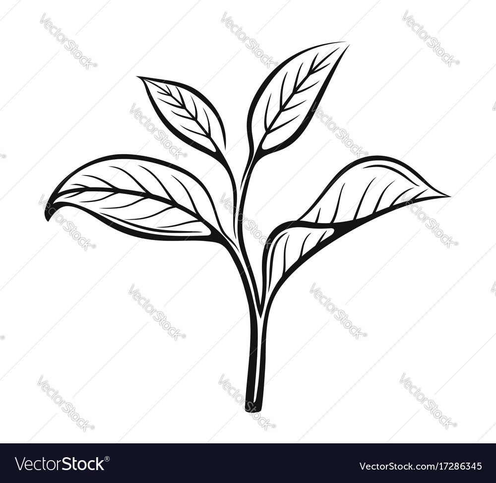 Tea Leaves Vector Image