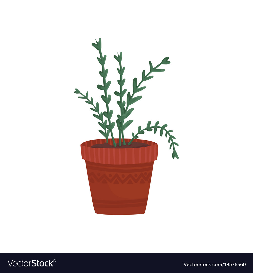 Herb in a flowerpot rosemary or oregano in a