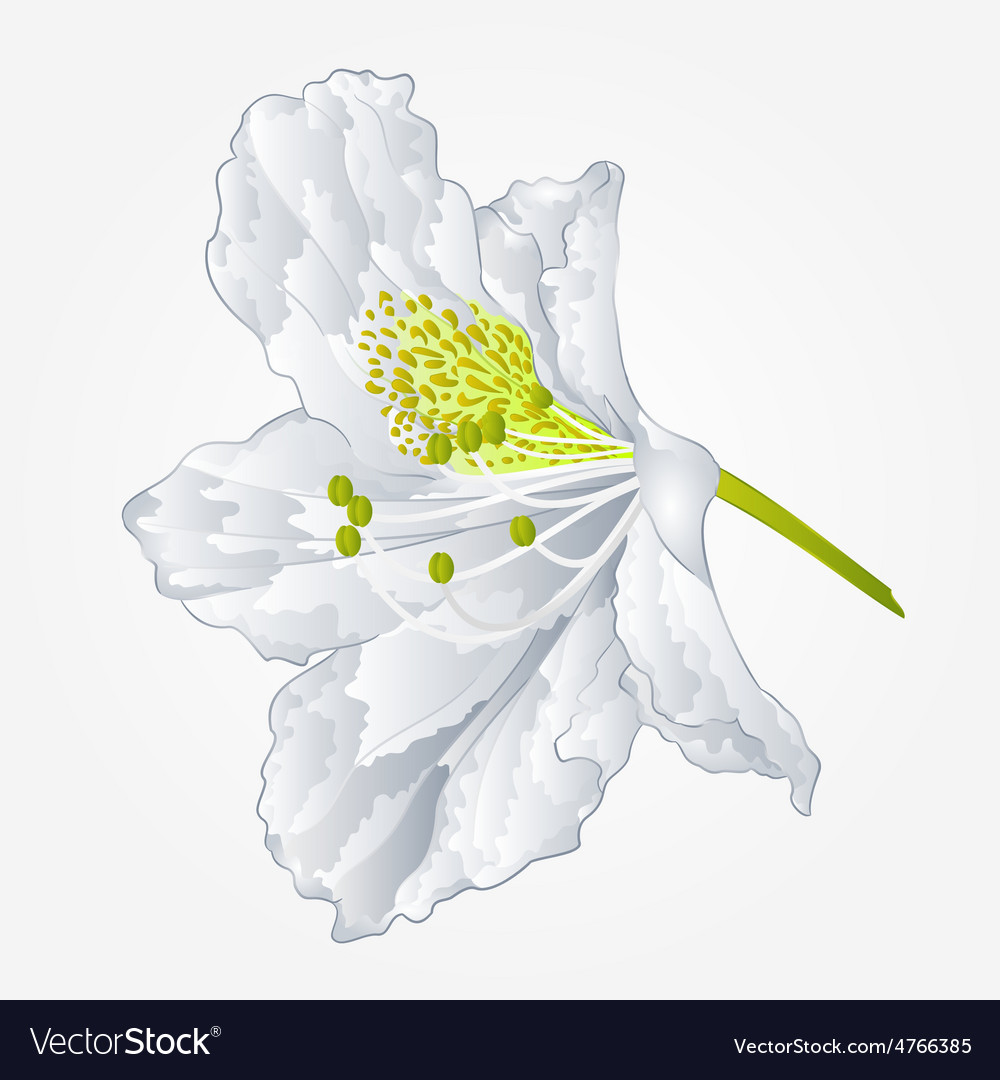 Rhododendron Mountain Spring Shrub White Flower Vector Image