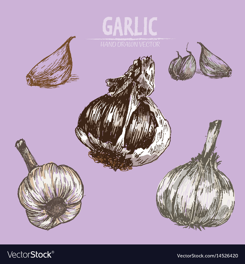 Digital detailed garlic hand drawn