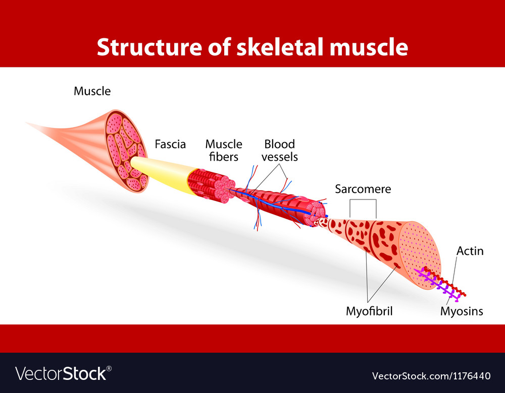Structure of skeletal muscle Royalty Free Vector Image