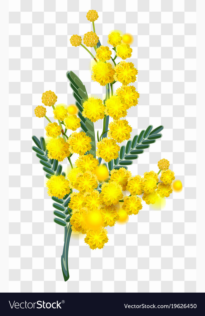 Yellow mimosa flower branch isolated on royalty free vector yellow mimosa flower branch isolated on vector image mightylinksfo