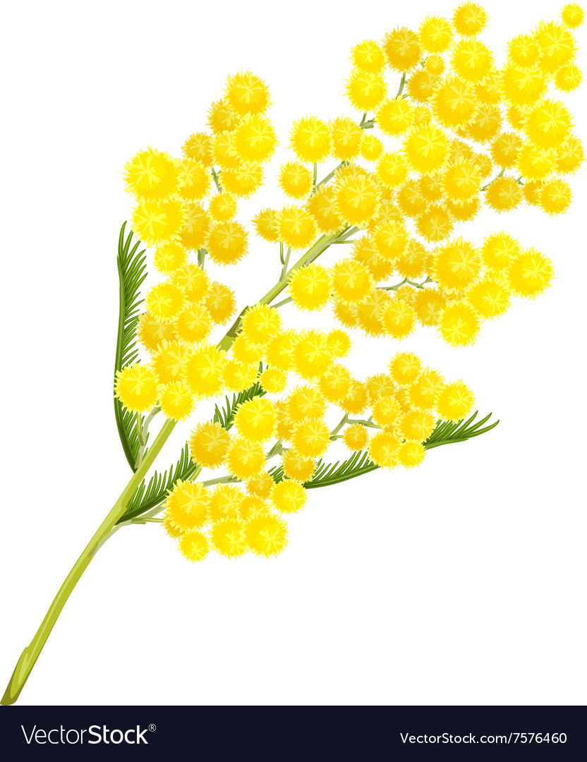 Yellow mimosa flower mimosa flower symbol of vector image mightylinksfo