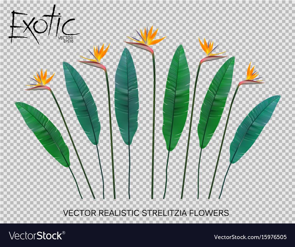 Strelitzia reginae flower vector image