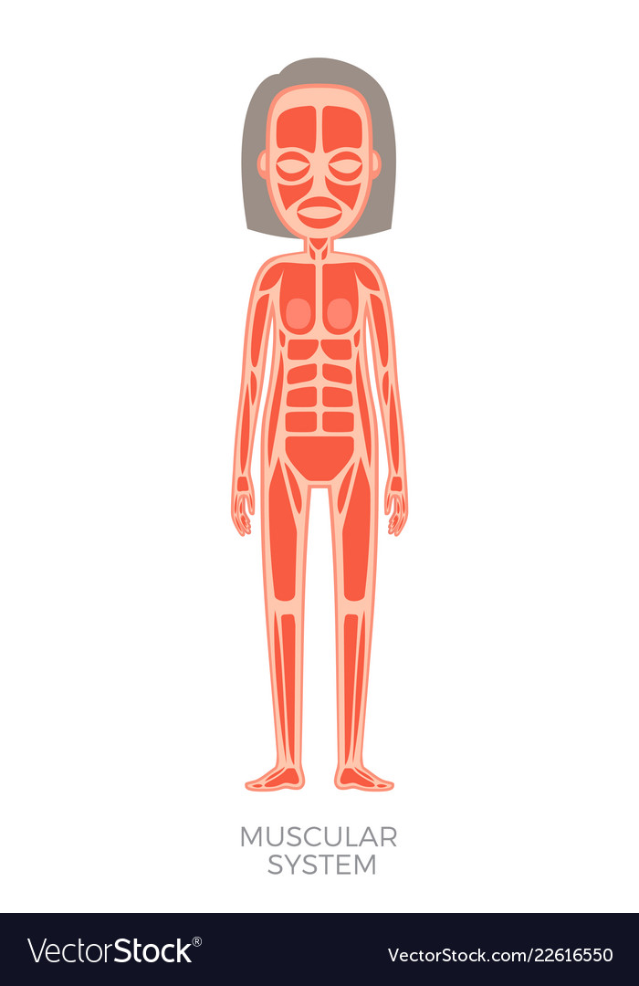 Muscular System Of Human Body Royalty Free Vector Image