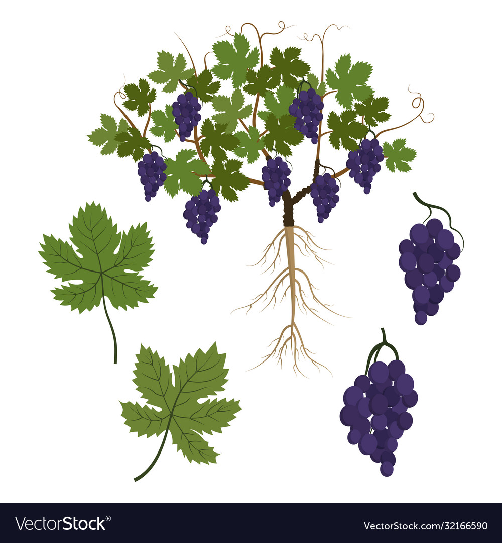 Plant Grapes And Its Parts Vine Leaves And A Vector Image