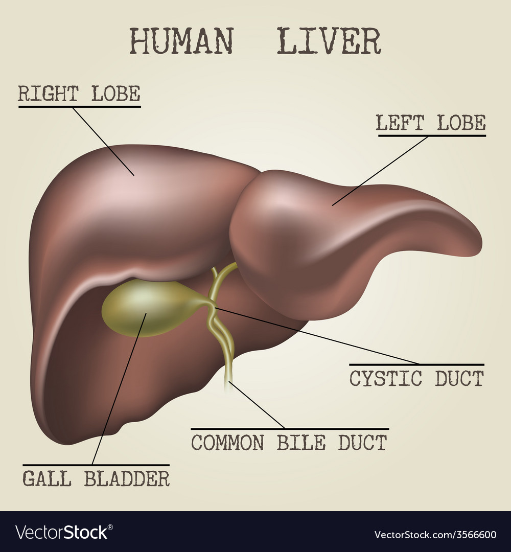 The Human Liver Anatomy Royalty Free Vector Image