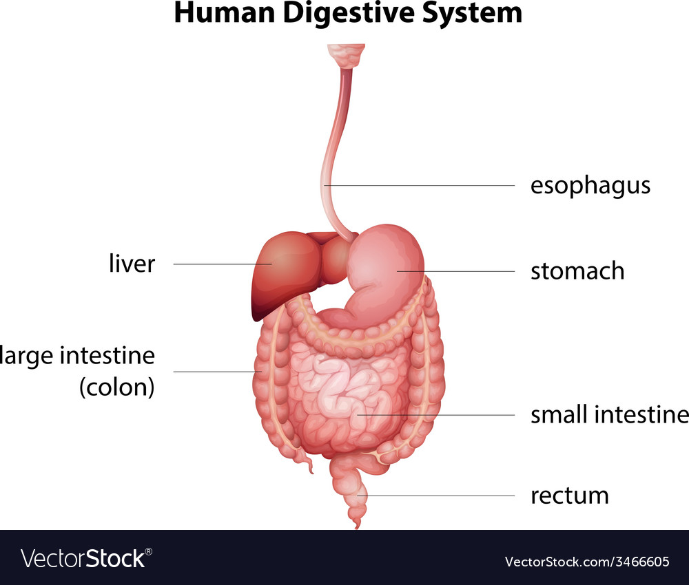 Human digestive system royalty free vector image human digestive system vector image ccuart Images