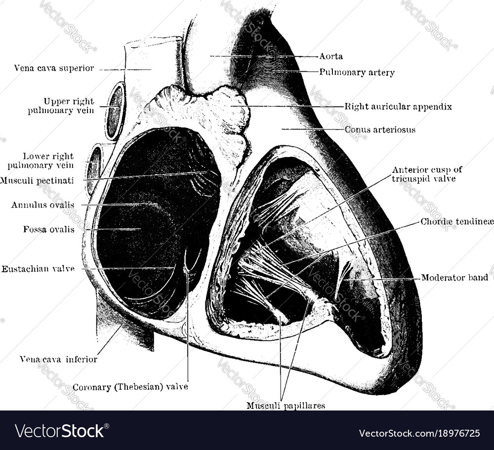 Auricle And Ventricle Of The Heart Vintage Vector Image