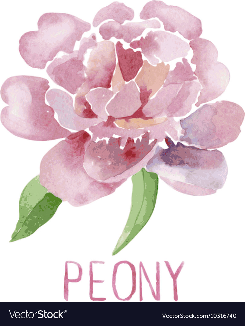 Gorgeous Pink Peony Flower Watercolor Vector Image