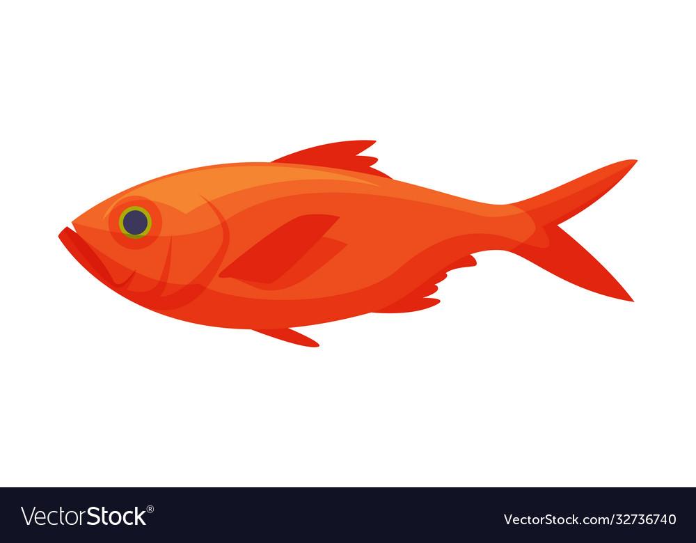 Red koi carp freshwater fish fresh aquatic fish
