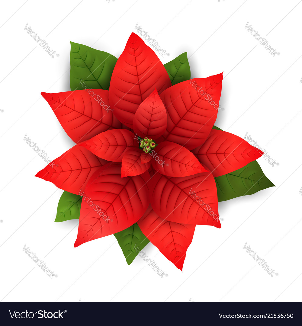 poinsettia isolated christmas flower vector image - Red Christmas Flowers