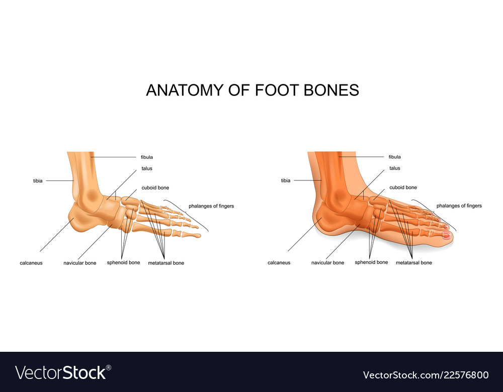 Anatomy Of The Foot Bones Royalty Free Vector Image