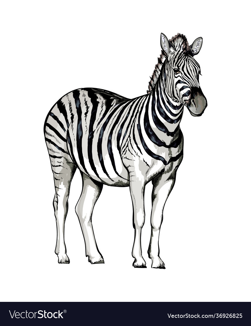 Zebra from a splash watercolor colored drawing