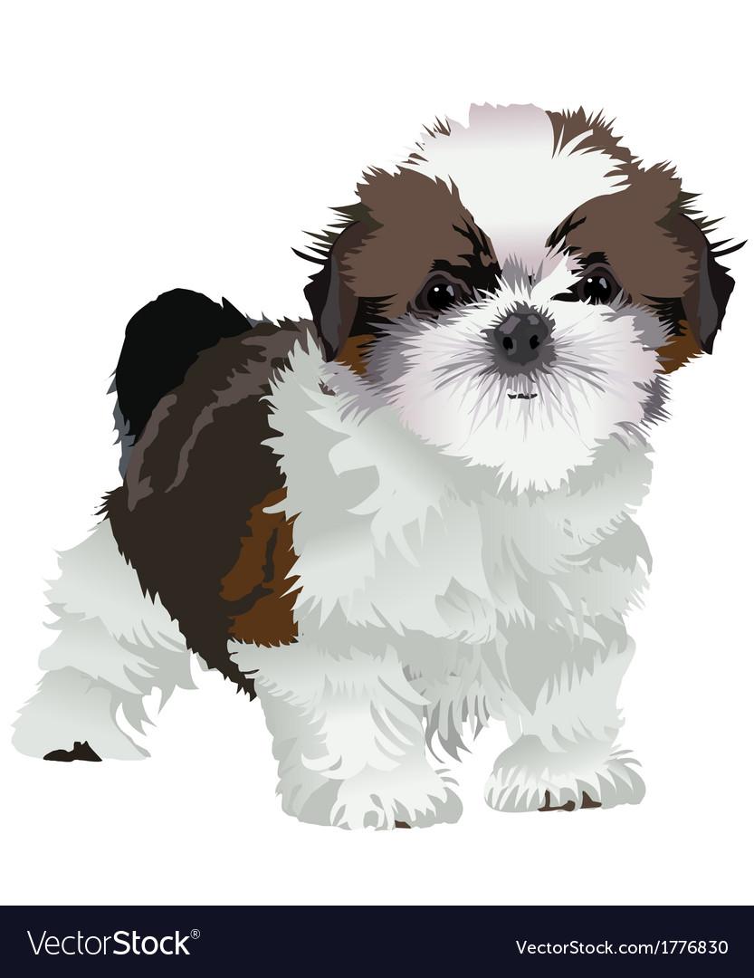Shih Tzu Puppy Royalty Free Vector Image Vectorstock