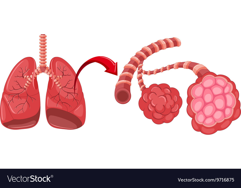 Pneumonia diagram with zoom in lungs vector image