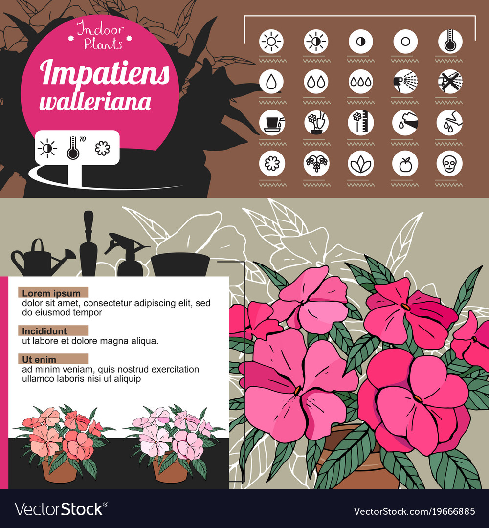 Template for indoor plant impatiens tipical
