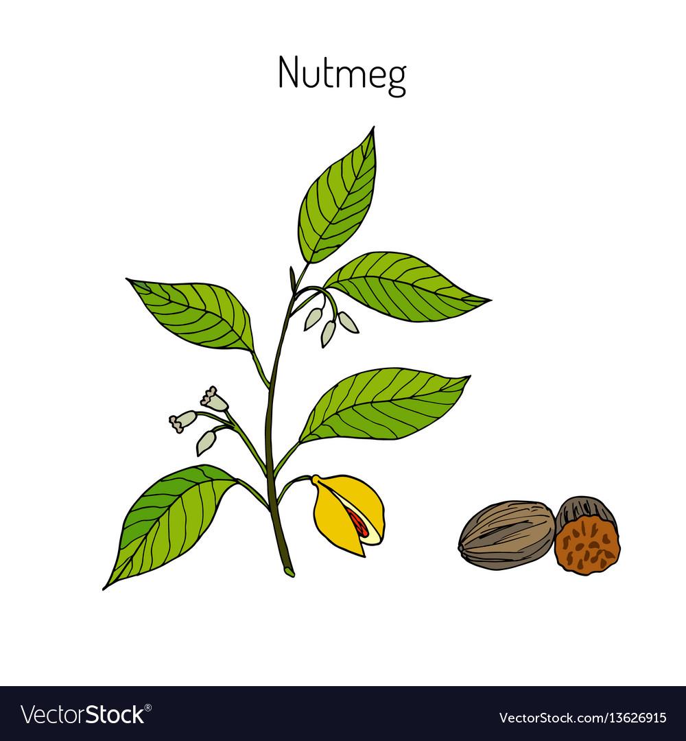 Kitchen spices nutmeg
