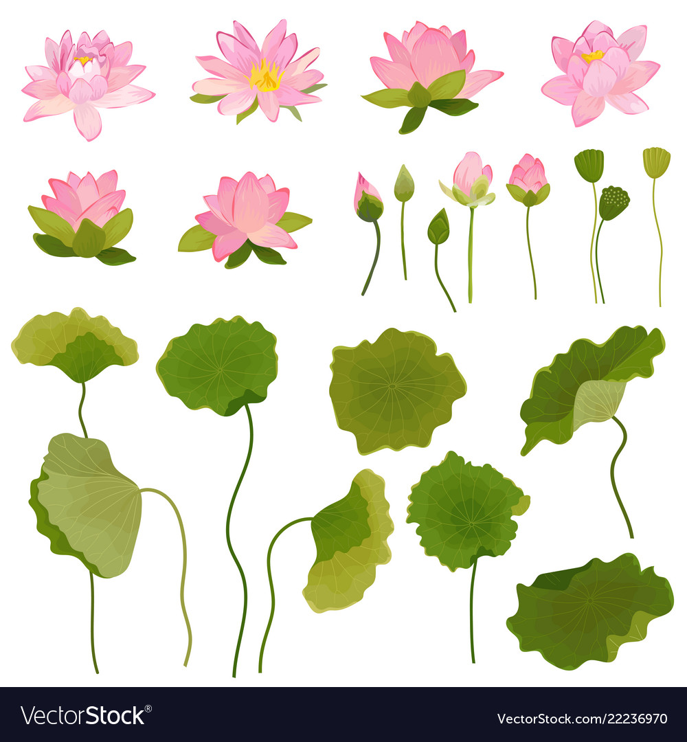 Hand drawn lotus flowers and leaves