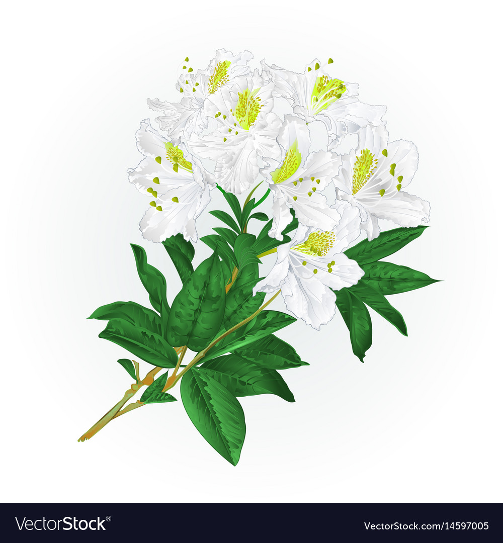 Branch white flowers rhododendron mountain shrub vector image mightylinksfo