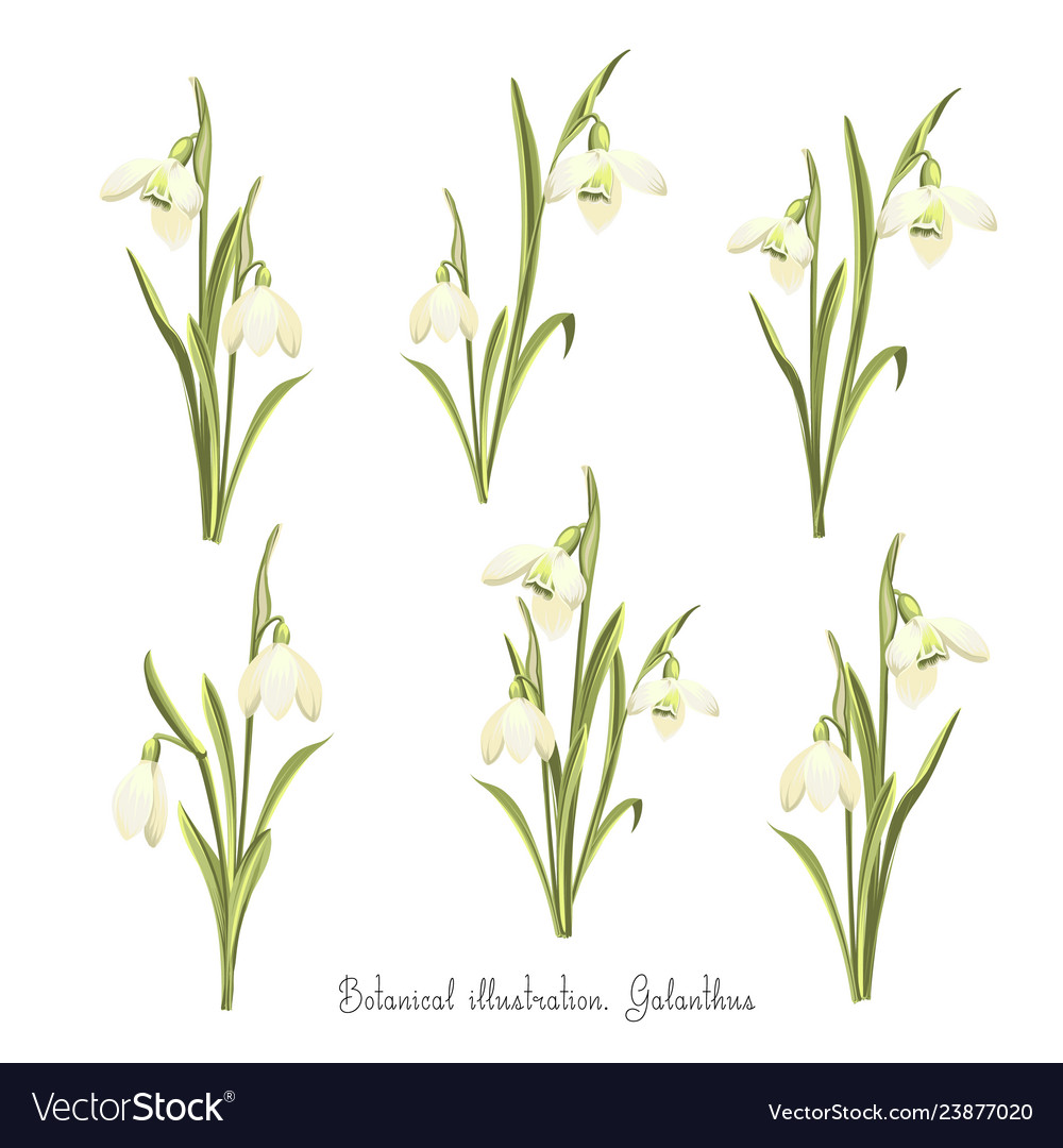Set of flowers of snowdrops botanical