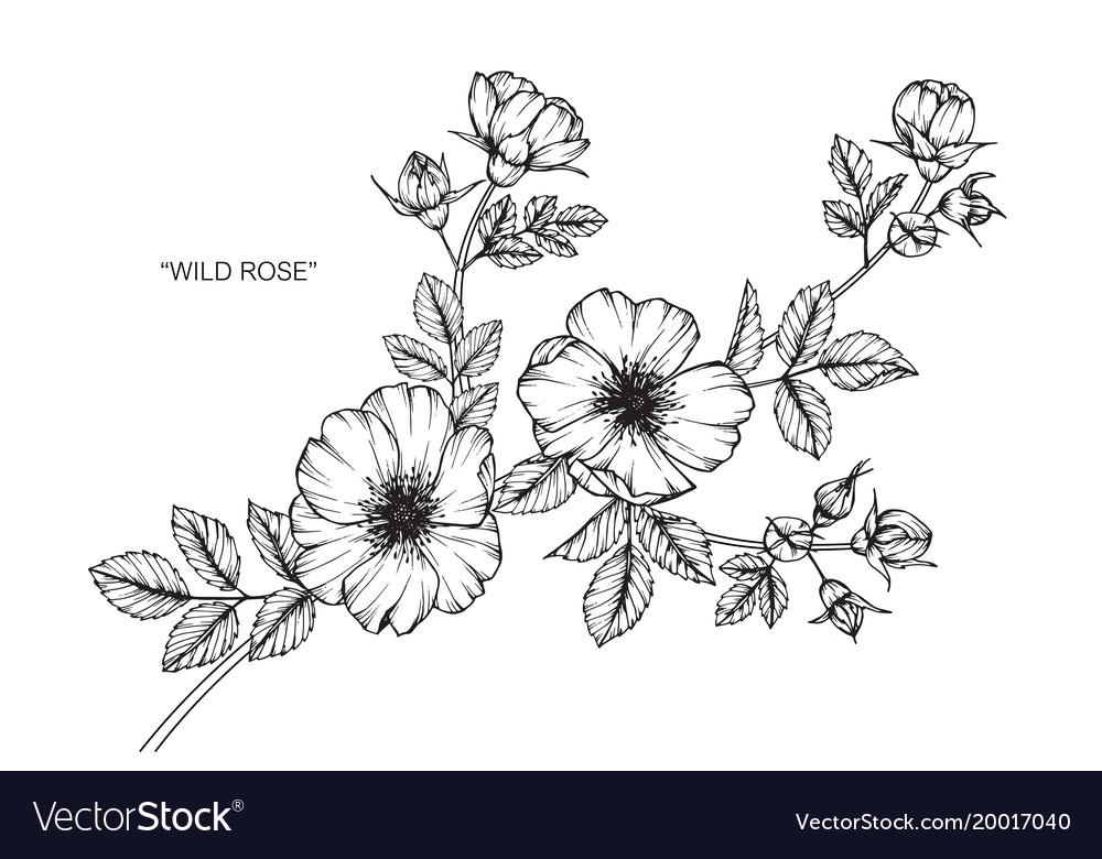 Wild Rose Flower Drawing Royalty Free Vector Image