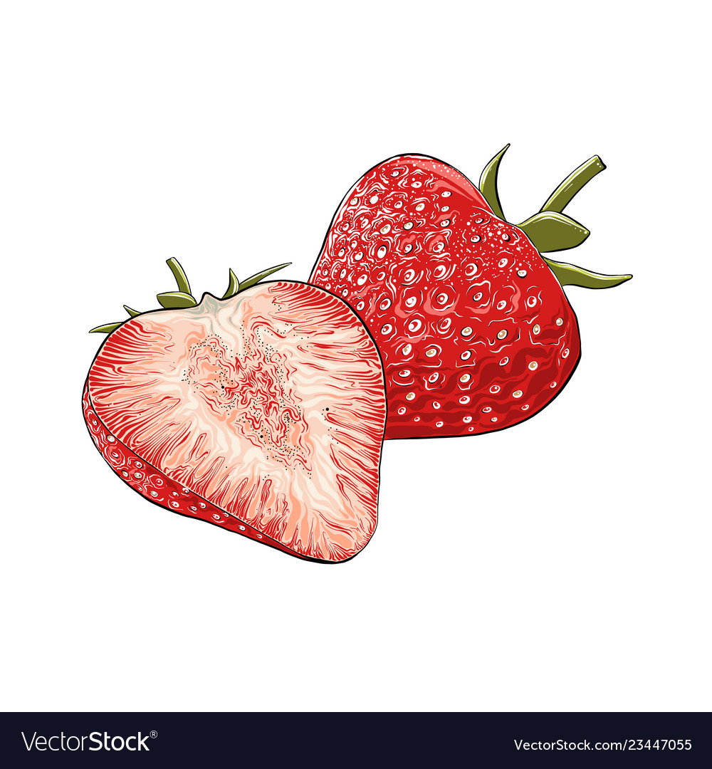 Hand drawn sketch of strawberry in color isolated