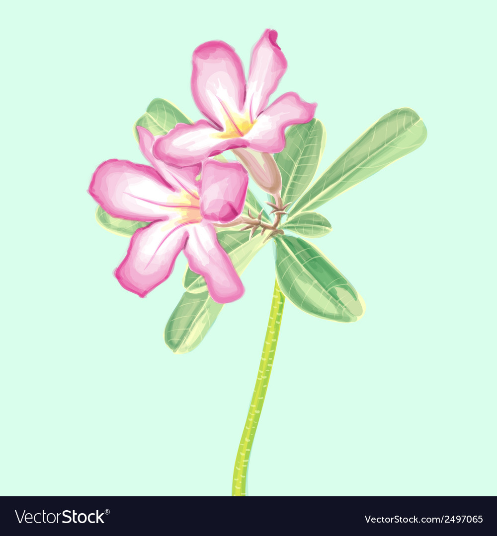 Watercolor painting impala lily