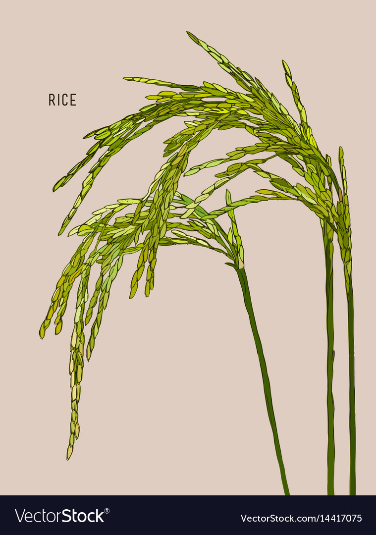 Green rice vector image