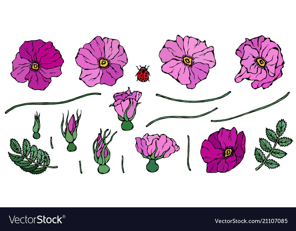 Wild rose pink flower dog rose briar leaf vector image
