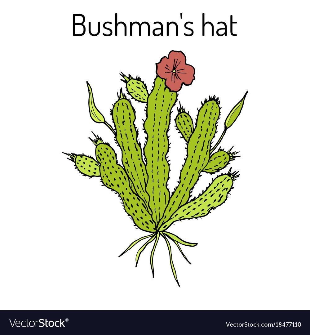 Bushmans Hat Hoodia Gordonii Medicinal Plant Vector Image