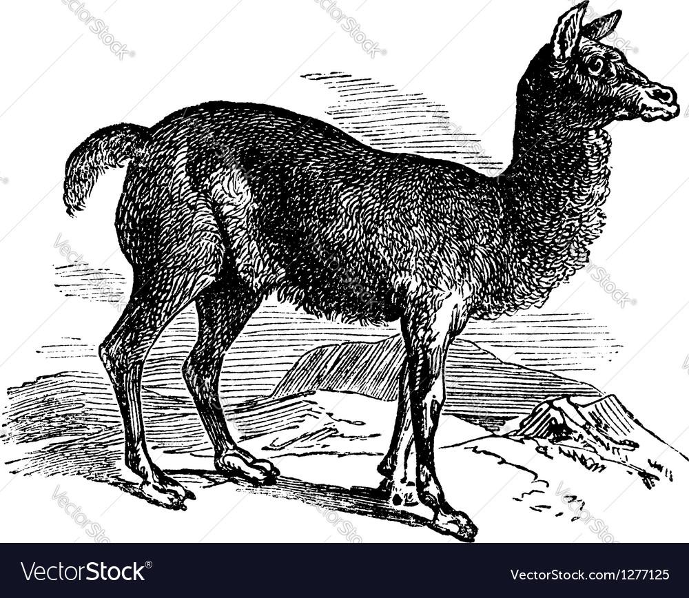 Alpaca vintage engraving