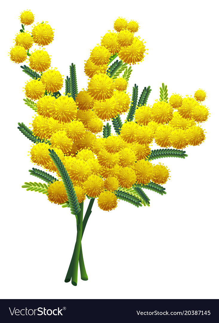 Yellow Fluffy Mimosa Flower Branch Isolated On Vector Image