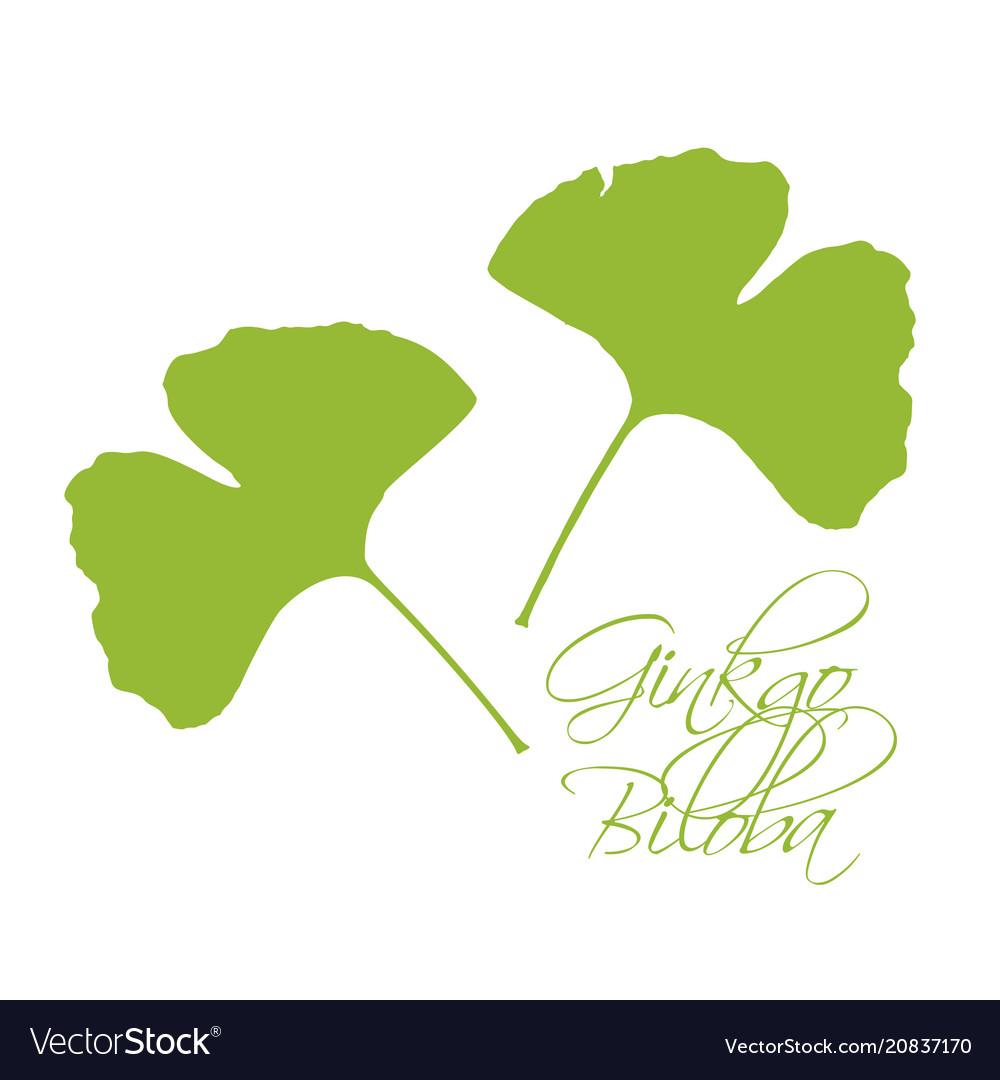 Ginkgo biloba leaves green silhouette white vector image