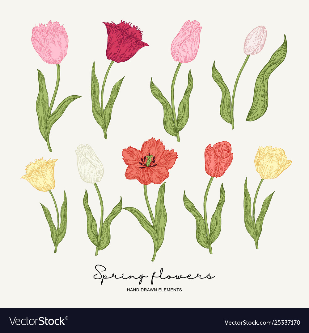 Hand drawn colorful tulips spring flowers set