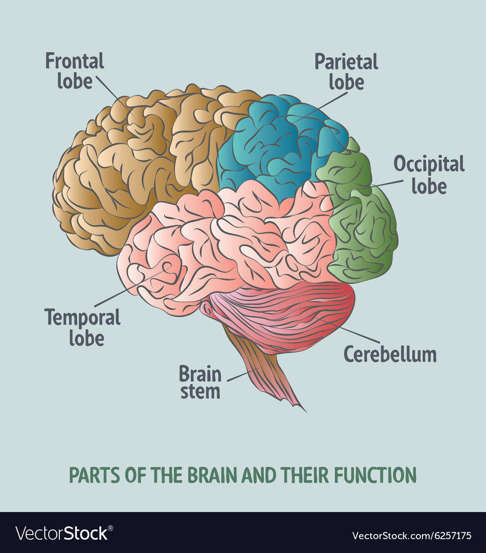 Parts Of The Human Brain Royalty Free Vector Image