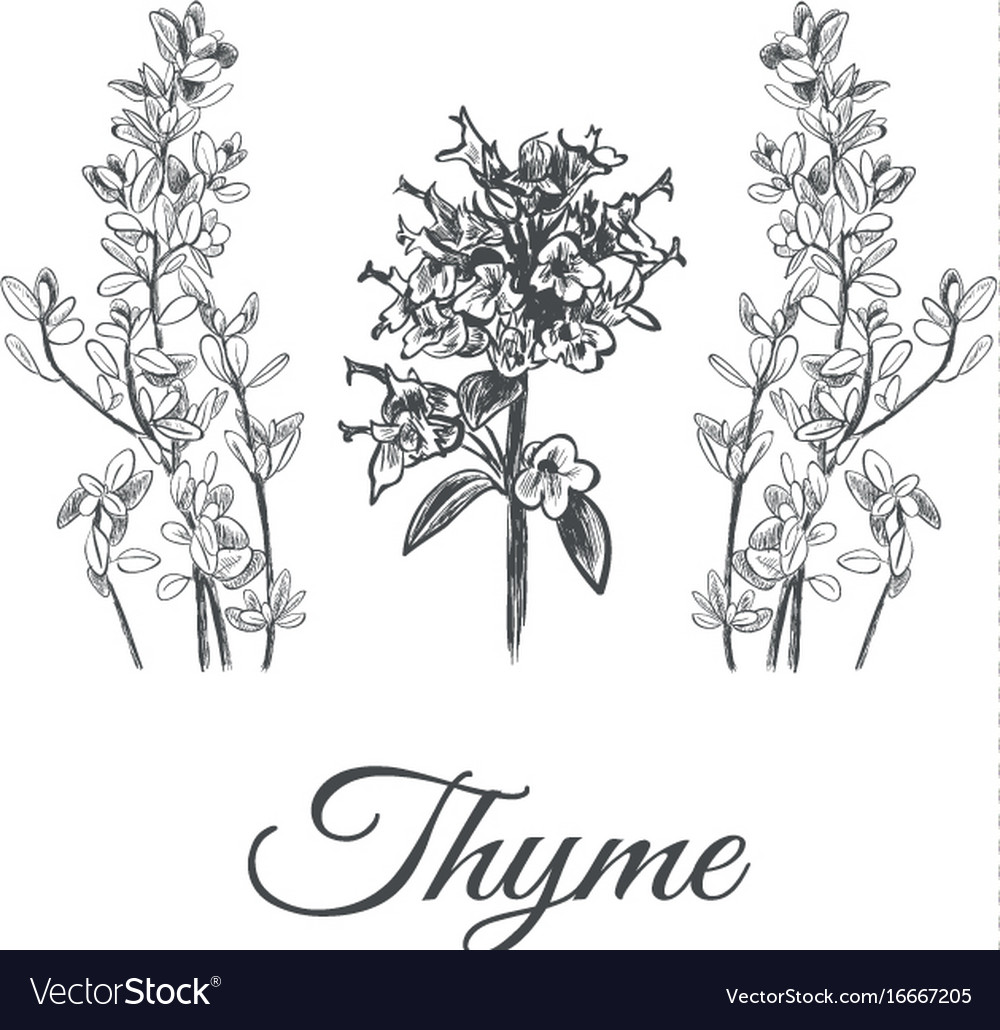 Thyme set collection of thyme