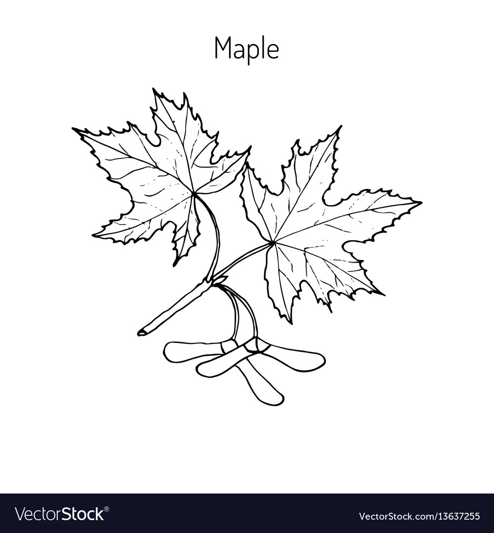 Maple branch with leaves and seeds