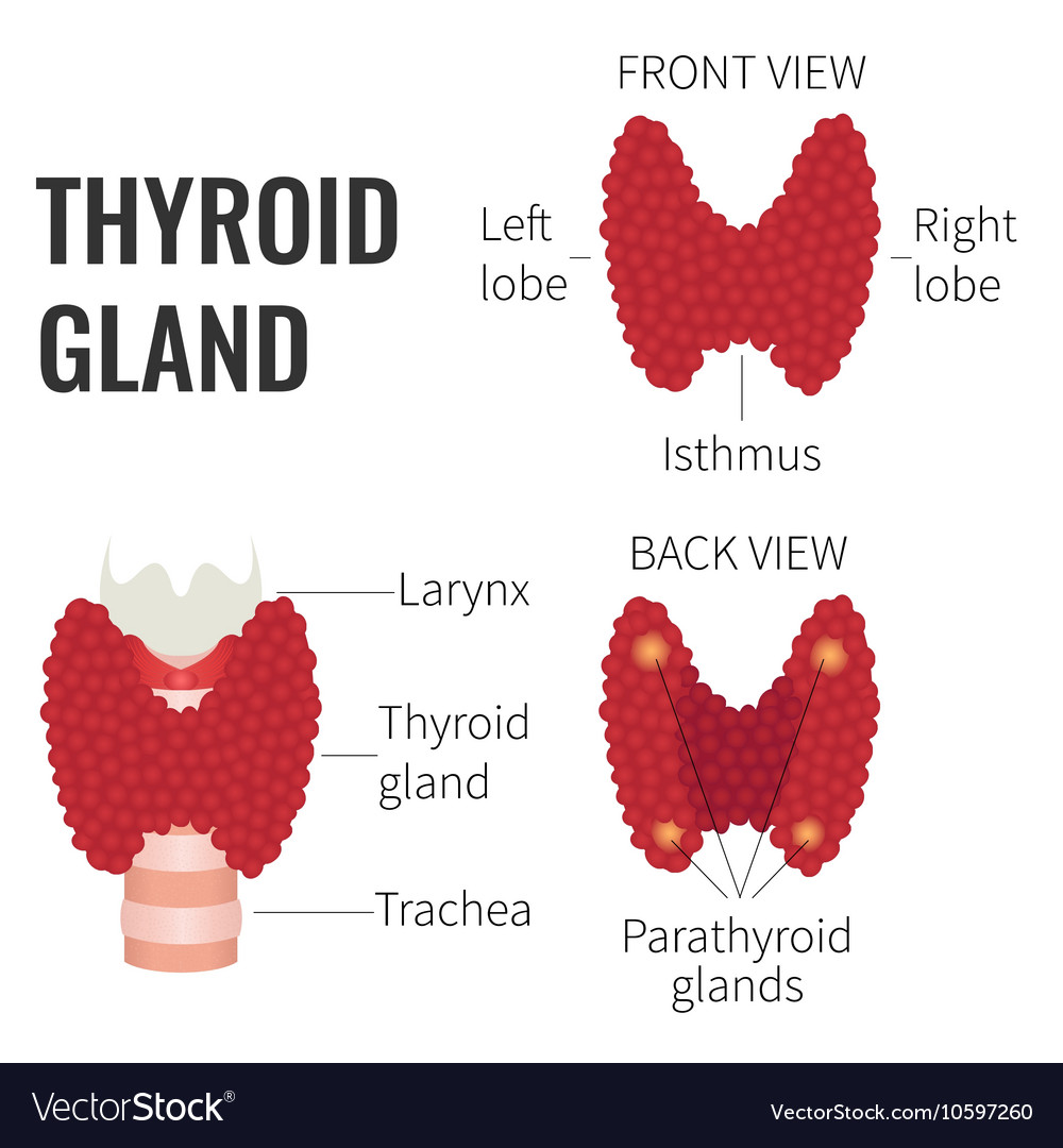 Thyroid gland diagram vector image