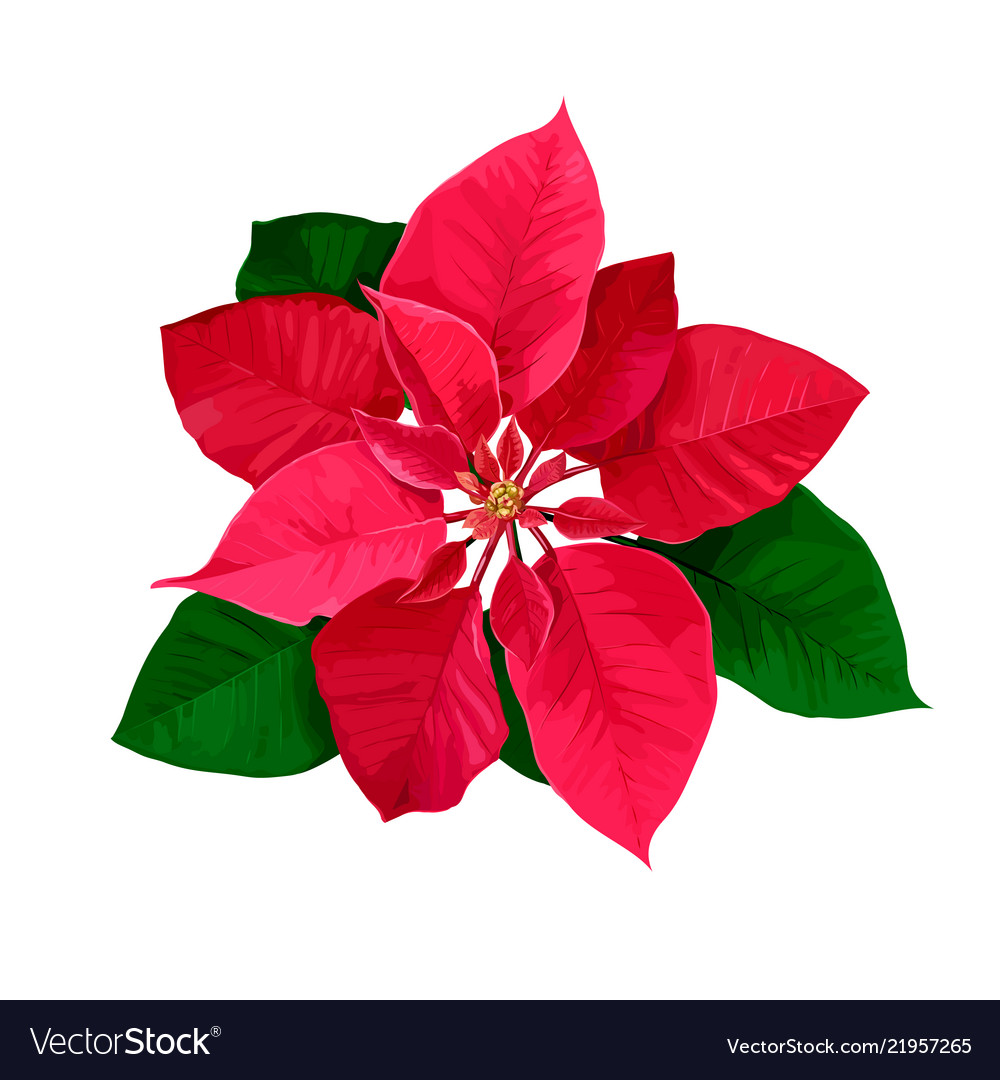 Christmas Star Hand Drawn Poinsettia Flower Vector Image