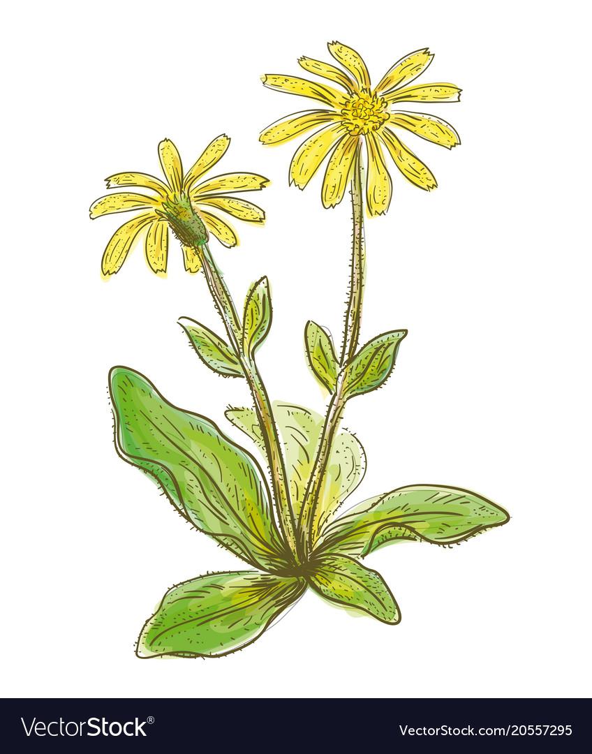 Arnica montana watercolor imitation