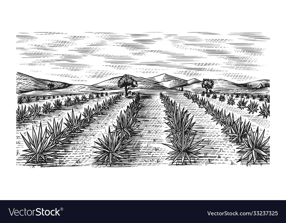 Agave field vintage retro landscape harvesting