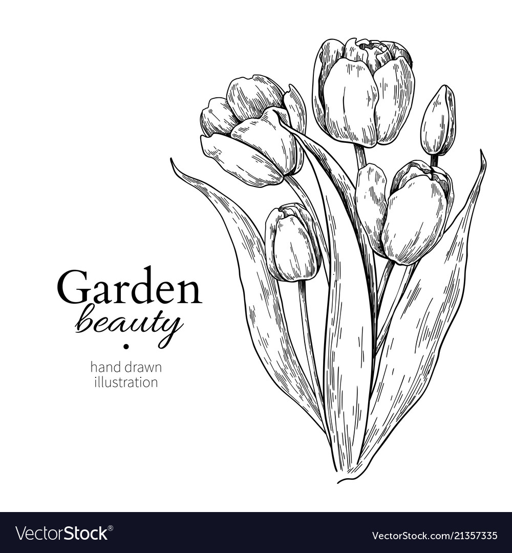 Tulip Flower And Leaves Bouquet Drawing Royalty Free Vector