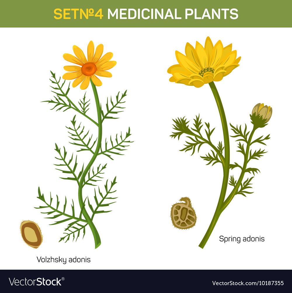 Wolgensis and spring adonis flowering medicinal vector image mightylinksfo