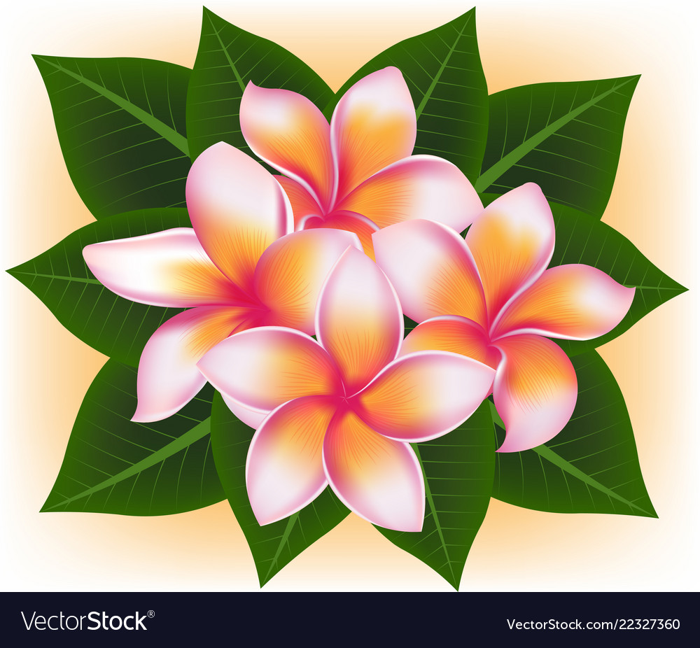 Hawaii Pink Flower Frangipani Plumeria Rubra Vector Image